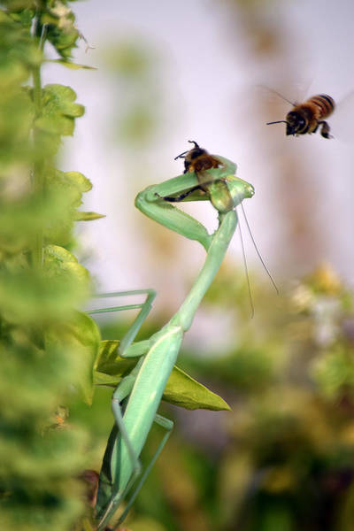 Photograph - Praying Mantis And Honey Bee by Frank Wilson