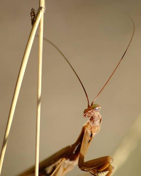 Photograph - Praying Mantis by Ben Upham III