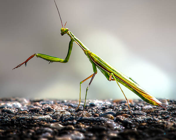 Wall Art - Photograph - Praying Mantis  by Bob Orsillo