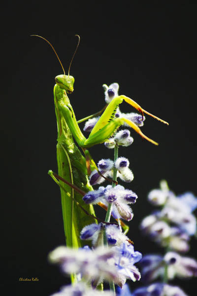 Photograph - Praying Mantis On Flower by Christina Rollo