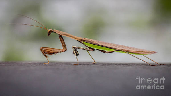 Photograph - Praying Mantis by Viviana  Nadowski