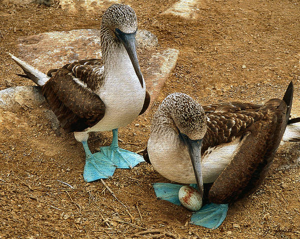 Blue Footed Booby Wall Art - Photograph - Pre Natal Checkup by Joe Bonita