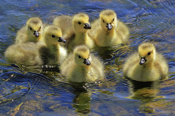 Wall Art - Photograph - Precious Goslings by Donna Kennedy