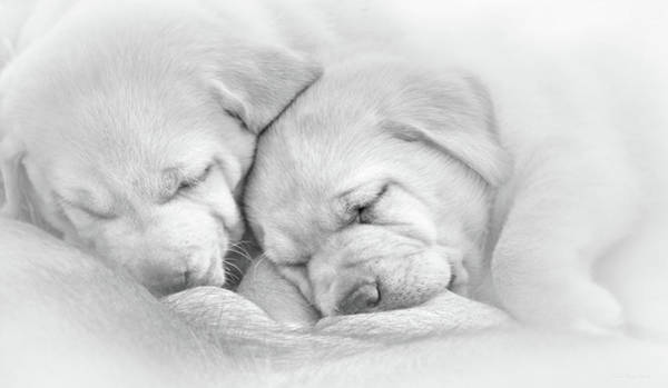 Wall Art - Photograph - Precious Lab Puppies Nursing Black And White by Jennie Marie Schell