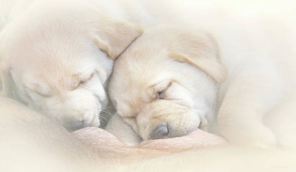 Wall Art - Photograph - Precious Lab Puppies Nursing by Jennie Marie Schell
