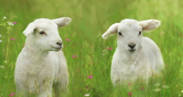 Lamb Of God Wall Art - Photograph - Precious Lambs by Lori Deiter
