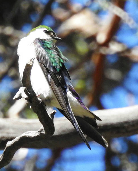 Violet-green Swallow Photograph - Precious Swallow by Sandra O'Toole