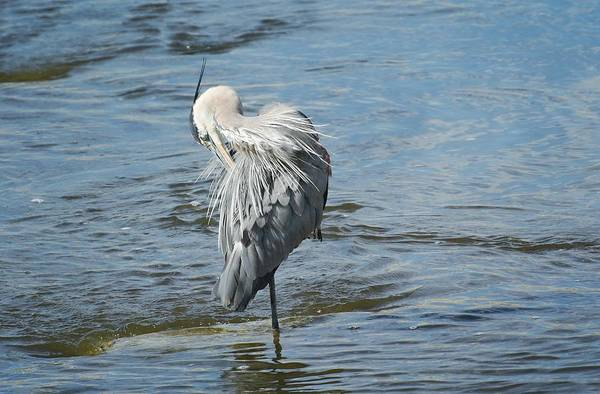 Photograph - Preening In The River by Fraida Gutovich