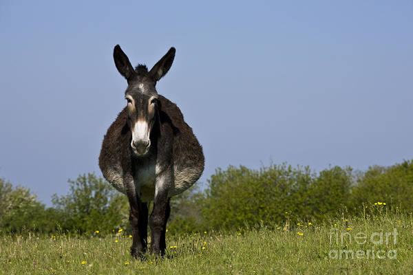 Equus Africanus Photograph - Pregnant Donkey by Jean-Louis Klein & Marie-Luce Hubert