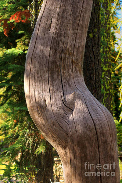 Photograph - Pregnant Tree by James Eddy