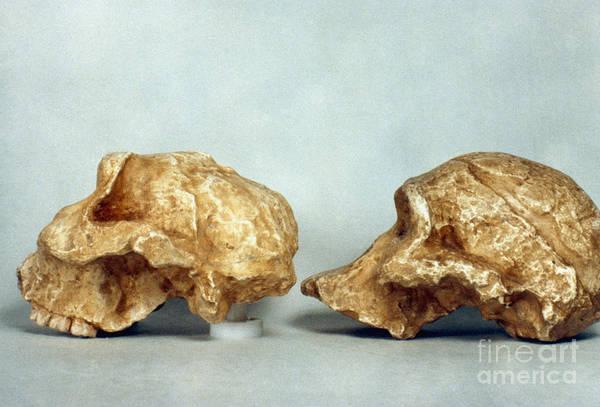 Photograph - Prehistoric Skulls by Granger