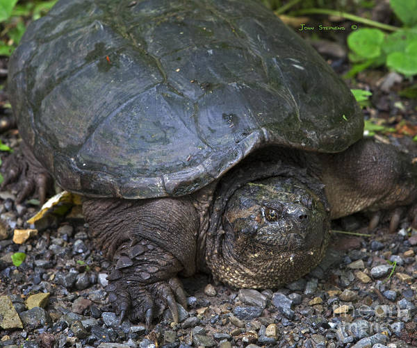 Snapping Wall Art - Photograph - Prehistoric Snapping Turtle by John Stephens