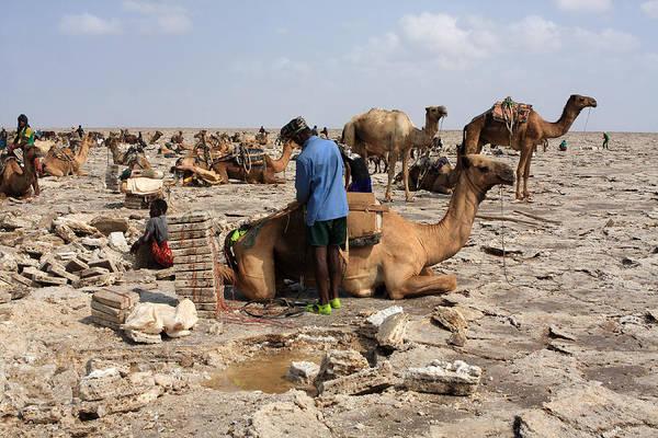 Photograph - A Miner Loads His Camel by Aidan Moran