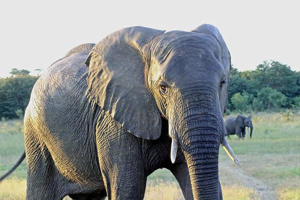 Photograph - Presidential Elephant by Tony Murtagh