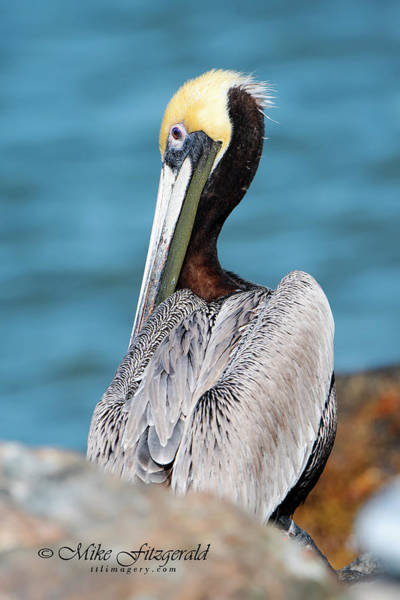 Photograph - Pretty As A Pelican by Mike Fitzgerald