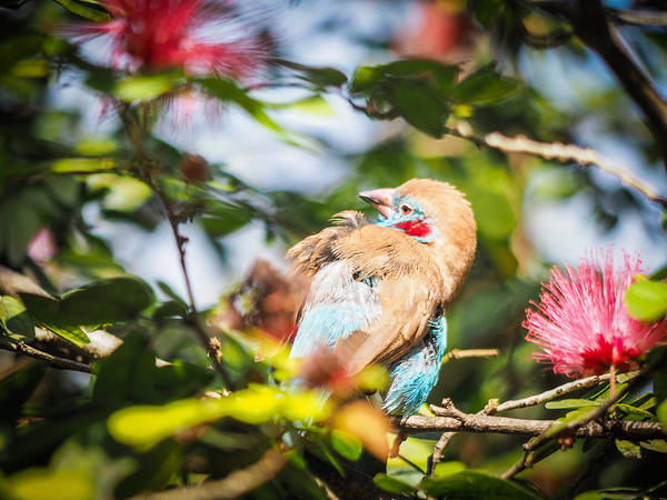 Photograph - Red Cheeked Cordon Bleu Finch by Robin Zygelman