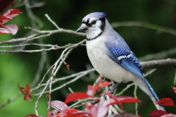 Photograph - Pretty Blue Jay by Trina Ansel