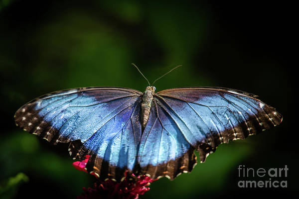 Photograph - Pretty Blue Morpho Butterfly by Sabrina L Ryan