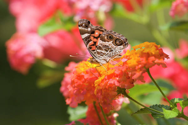 Photograph - Pretty Butterfly by Jill Lang
