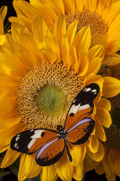Golden Photograph - Pretty Butterfly On Sunflowers by Garry Gay