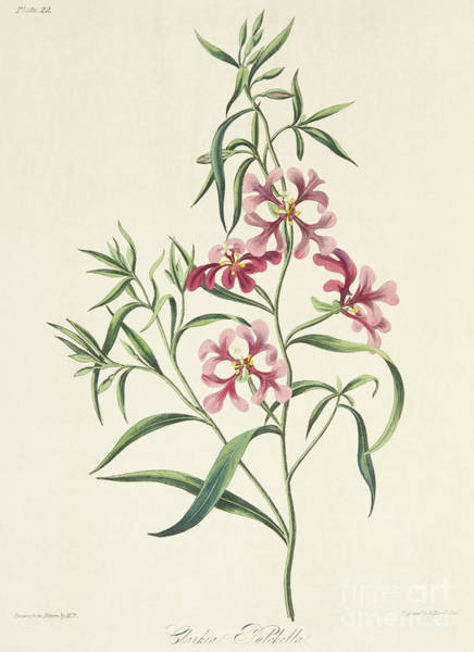 Pink Drawing - Pretty Clarkia by Margaret Roscoe