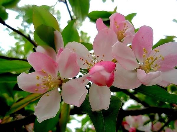 Photograph - Pretty Crabapple Blossoms by Beth Akerman