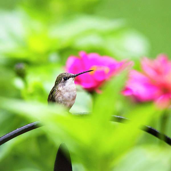 Photograph - Pretty Garden Jewel Hummingbird Sqauare by Christina Rollo