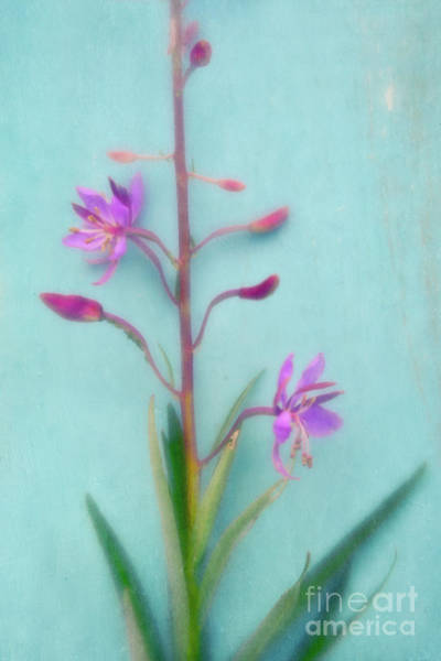 Fireweed Photograph - Pretty In Pastel 5 by Priska Wettstein