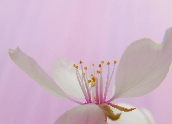 Photograph - Pretty In Pink Cherry Blossom by Barbara St Jean