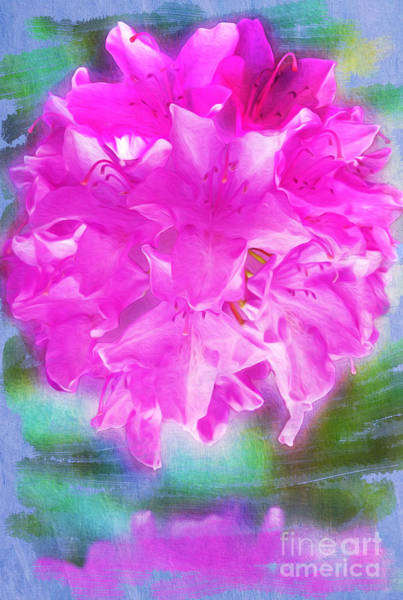 Rhododendrons Photograph - Pretty In Pink by Laura D Young