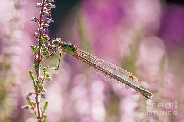Photograph - Pretty In Pink by Paul Farnfield