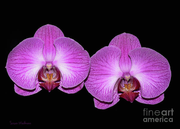 Photograph - Pretty In Pink Phalaenopsis Orchids by Susan Wiedmann