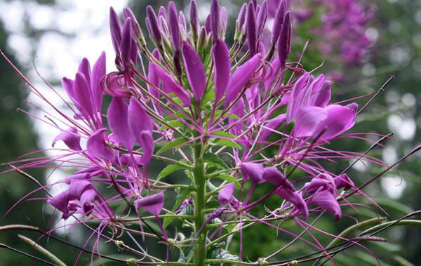 Manito Park Spokane Photograph - Pretty In Purple by Ellen Tully