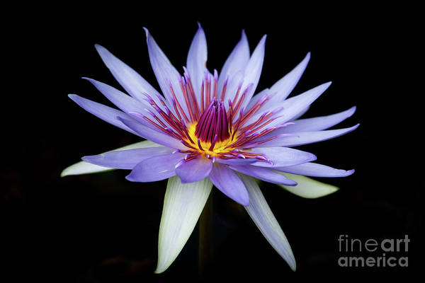 Photograph - Pretty In Purple Water Lily by Sabrina L Ryan