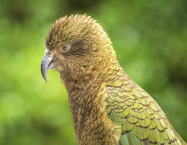 Photograph - Pretty Kea by Racheal Christian