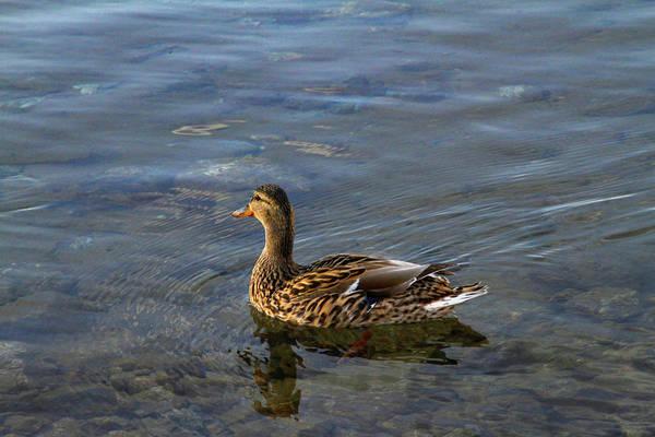 Photograph - Pretty Lady Duck by Bonnie Follett