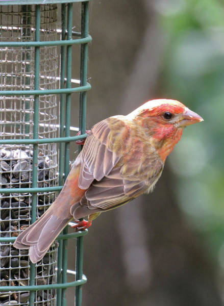 Little Things Photograph - Pretty Little Finch At The Feeder This Morning by Brooks Garten Hauschild