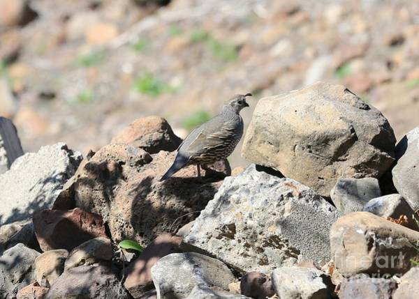 Wall Art - Photograph - Pretty Mama Quail On Rocks by Carol Groenen
