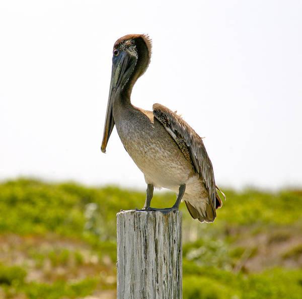 Photograph - Pretty Pelican by Marilyn Hunt