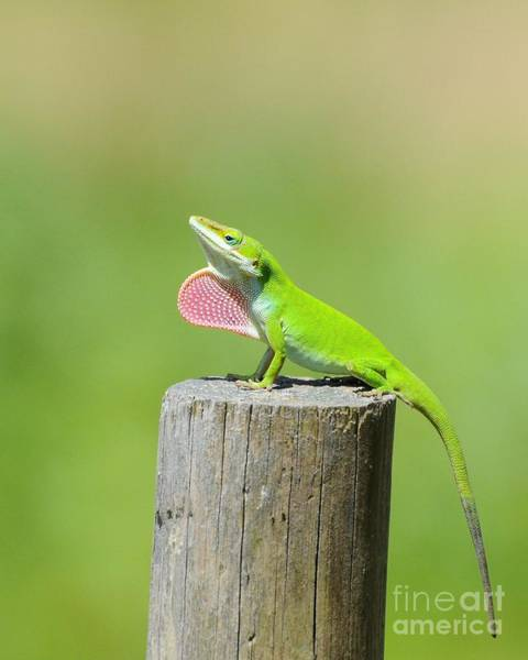 Green Anole Photograph - Pretty Penny 2 by Al Powell Photography USA