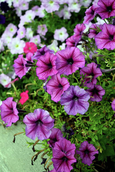 Photograph - Pretty Petunias by Karen Harrison