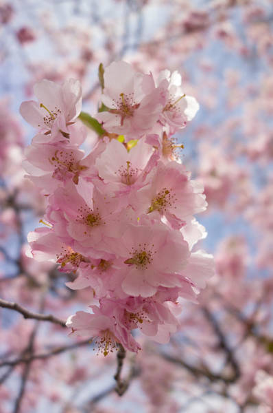 Photograph - Pretty Pink And Bright - Spring Blossom by Matthias Hauser