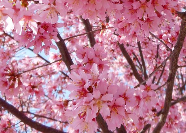 Photograph - Pretty Pink Cherry Blossom Tree by Kristin Aquariann