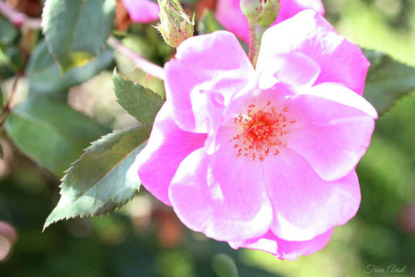 Photograph - Pretty Pink Rose by Trina Ansel