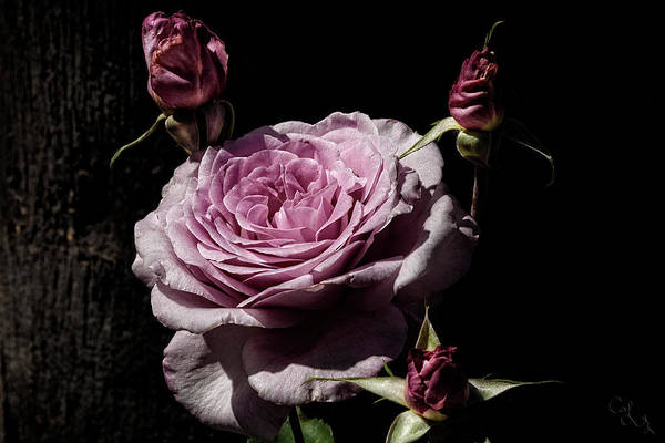 Wall Art - Photograph - Pretty Pink Roses by Camille Lopez