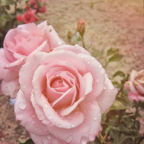 Photograph - Pretty Pink Roses by JAMART Photography