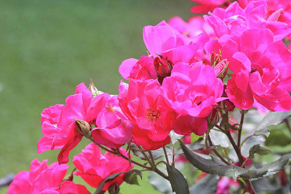 Photograph - Pretty Pink Roses by Trina Ansel