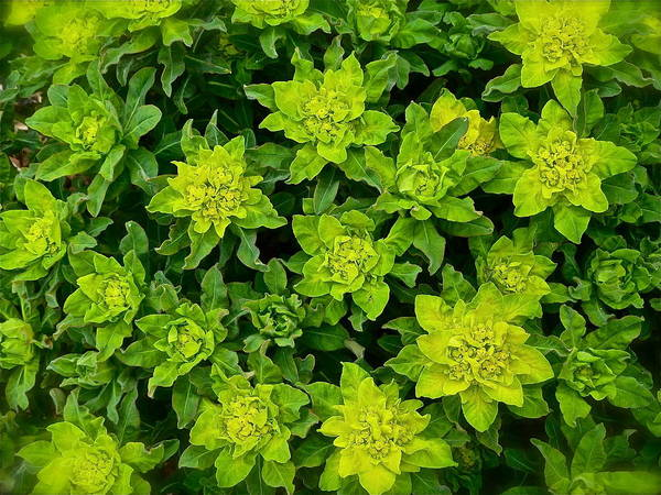 Photograph - Pretty Plant by Diana Hatcher