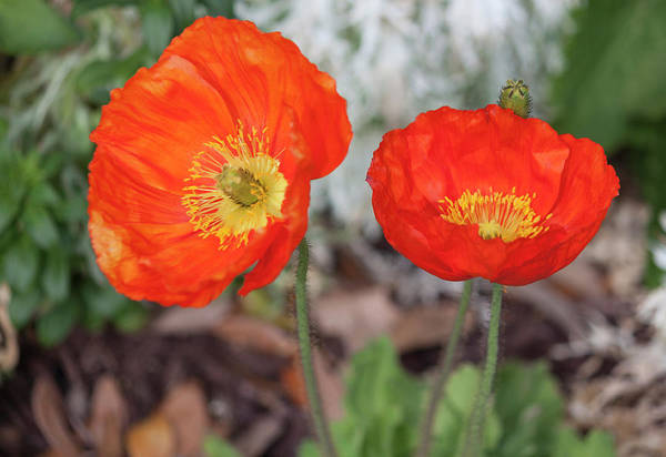 Wall Art - Photograph - Pretty Poppies by Suzanne Gaff