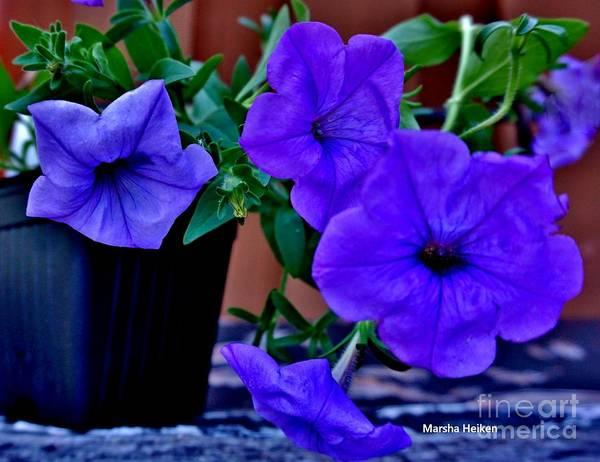 Wall Art - Photograph - Pretty Purple Petunias by Marsha Heiken